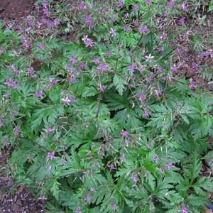GERANIUM canariensis