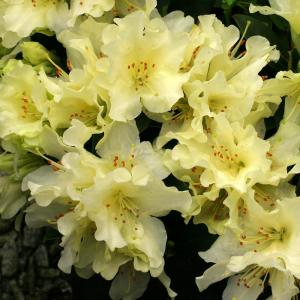 Rhododendron 'Patty Bee'