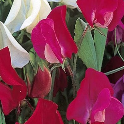 Sweet Pea, Old Fashioned Mix