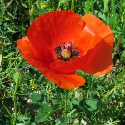 Poppy, Red