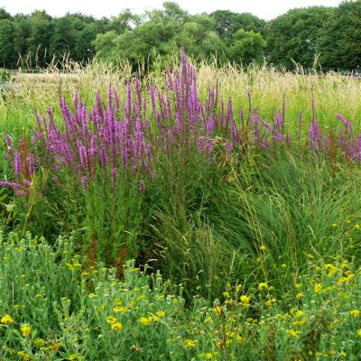 Wildflower Mix, Pond Edge