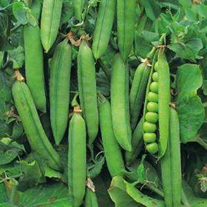 Peas - 'Rondo'