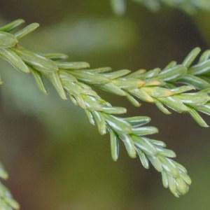 Fitzroya cupressoides