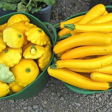 Marrow, Scallopini Yellow