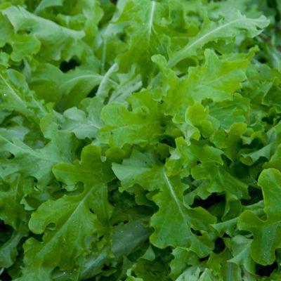 Lettuce, Salad Bowl