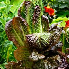 Lettuce, Rubens Red