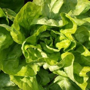 Lettuce, All The Year Round