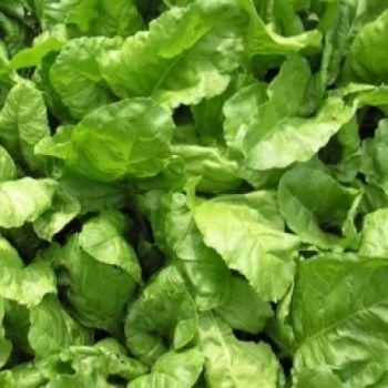 Leaf Beet, Perpetual Spinach