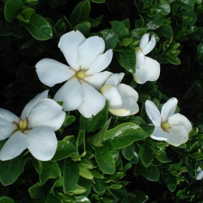 Gardenia jasminoides 'Kleims Hardy'
