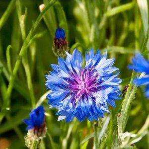 Cornflower, Double Blue