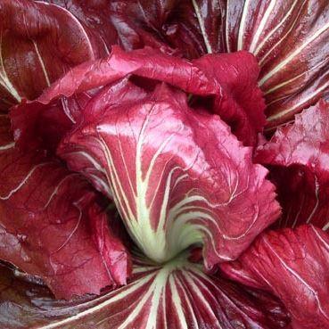 Chicory, Palla Rossa