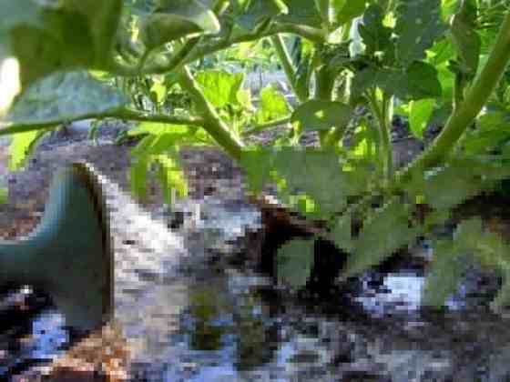 Ramblings About Rain-Barrels, watering tomatoes from the bottom, tomato plant