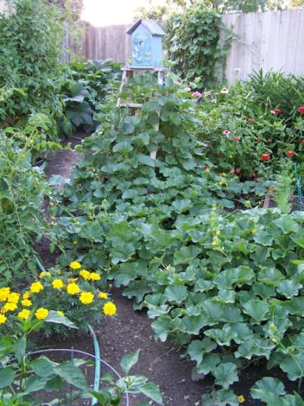 The Potager Garden in August, garden planning, germinate, ideas, homestead, farm, sustainable, seeds, 4x8 boxes, herbs, flowers, annuals, perrenials, growing edibles, ornamentals, balconies, patios, porches, rooftops, kitchen beds of England, compositions of French, Smithsonian Garden education specialist, Cynthia Brown, rot-resistant cedar, aesthetic design, layout, plot, landscape, quotes, botanist, zinnia, nasturtiums, raised beds, trellises, espalier, lettuces, herbs, formal or rustic design, Monet, Matthew 19: 23, plan, DIY, homemaking, keeper at home, produce, birdhouse with nasturtiums