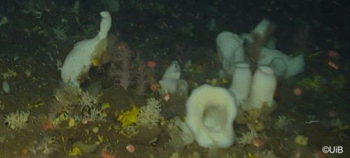 Sponge grounds in the North Atlantic