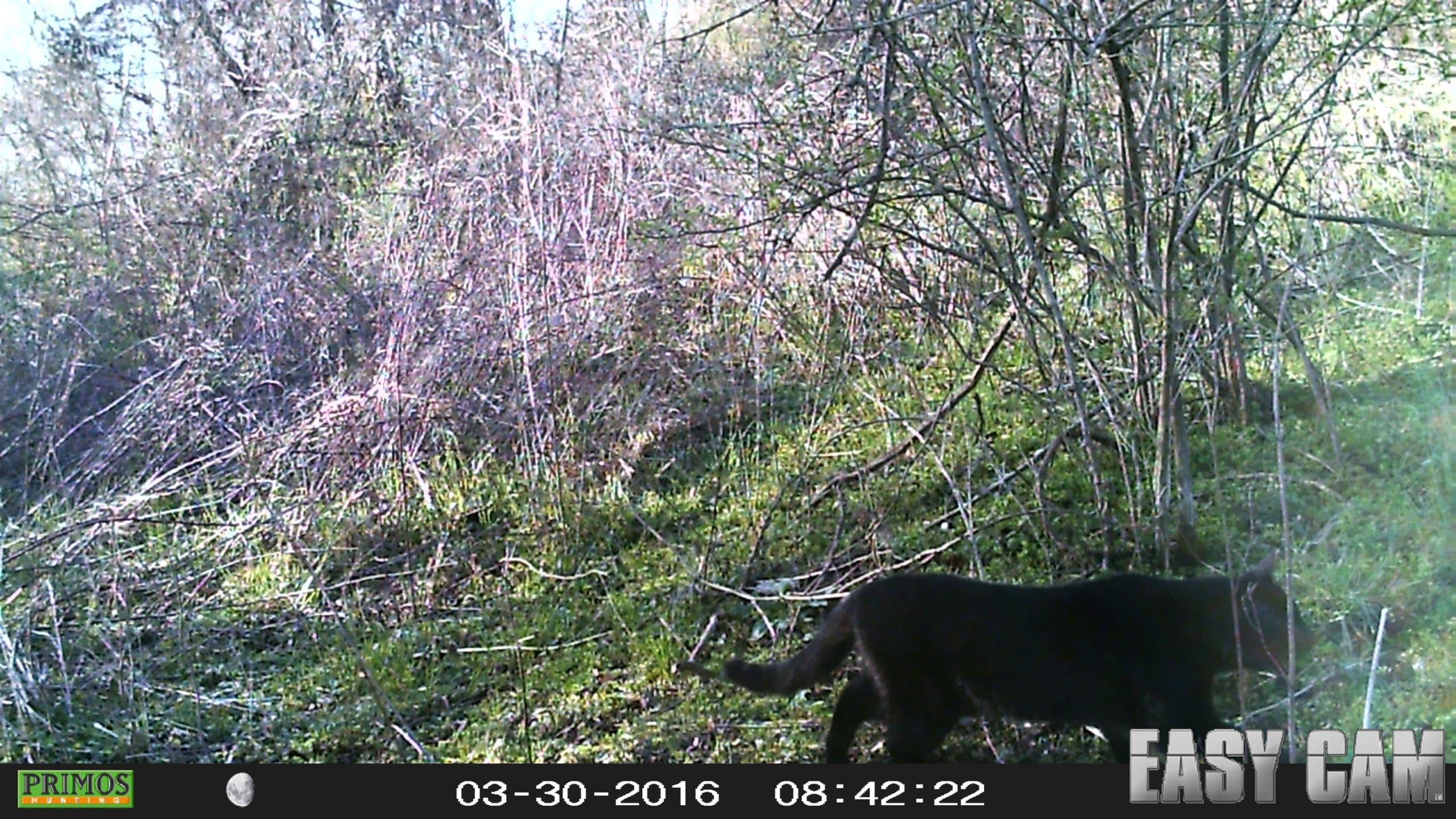 Cougar Sightings West Virginia