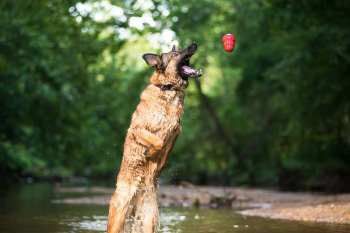 Lucca loves the water [and her Kong]! We went to her favorite place to walk and of course she had to get in the creek one last time! Facebook: Lucca K458/Photo by Ariel Peldunas