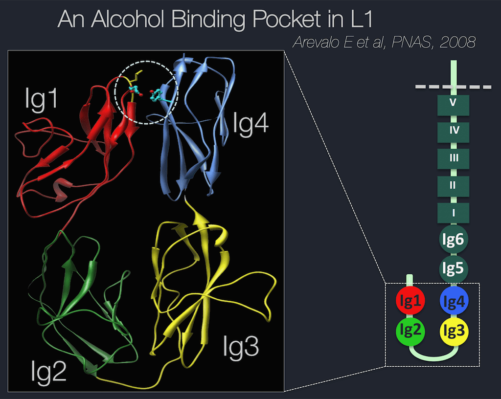 """A molecular model of the L1 alcohol """"sticky"""" binding site, which is the area inside the dotted circle"""