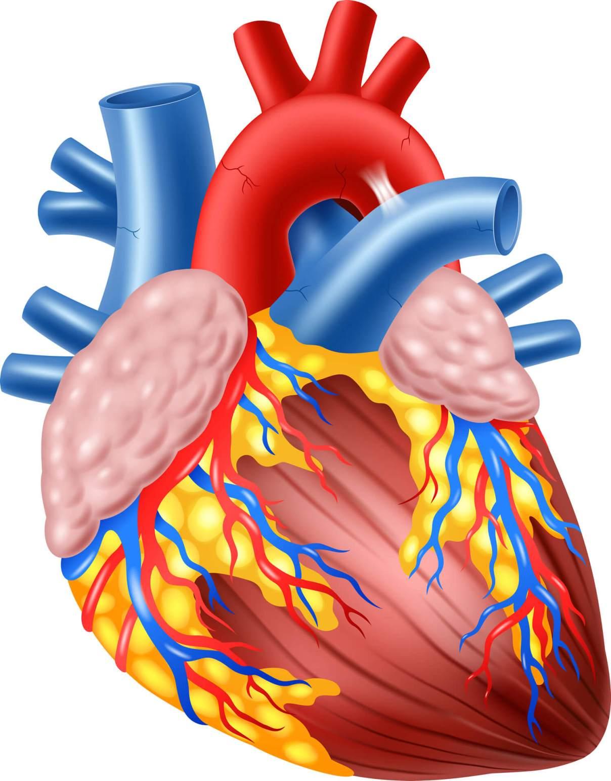 Auricula 2 - El Corazón Humano Anatomía, Función
