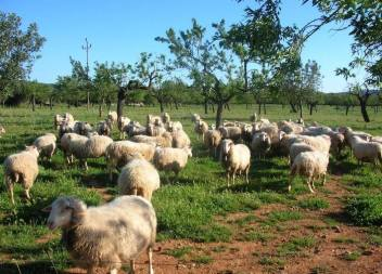 15.000 euros d'indemnització a un conductor que va sofrir un accident amb una ovella a Son Servera