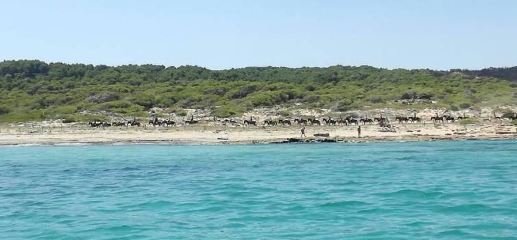 El GOB reclama acabar amb el trànsit de cavalls sobre les dunes de Sa Canova