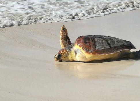 Amollades a sa Ràpita dues tortugues recuperades
