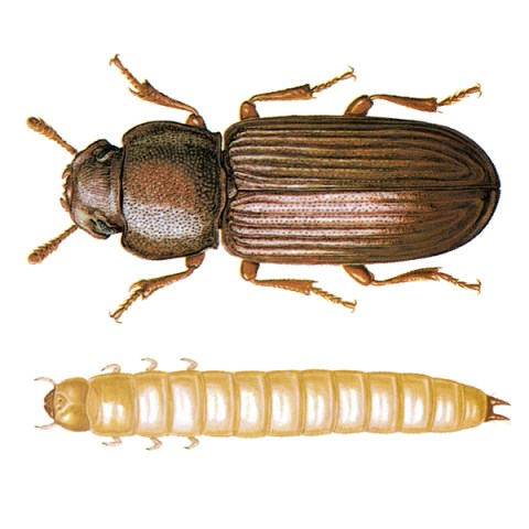 <strong>Confused Flour Beetle</strong>  <br><br> <strong>Appearance:</strong> A slim beetle of 3-4 mm length, of uniform red-brown to black color.  <br><br> <strong>Life History:</strong> The eggs, which are laid loosely on the stored product, are not readily discernible; the female deposits eggs for a period which can exceed 1 year, 350400 eggs on average. The total development period is 7-12 weeks, depending on temperature; the larvae pupate loosely in the infested goods. Sensitive to cold; high humidity favors development. The beetles seldom fly, and can live more than 3 years.   <br><br> <strong>Distribution:</strong> All parts of the world; in cooler climates, restricted to warm storages.    <br><br> <strong>Damage:</strong> Beetles and larvae feed on a very wide variety of dry vegetable substances, for example, milled cereal products, groundnuts, cocoa beans, legumes, spices, dried fruits, tapioca, oilseed cake, etc. A frequent mill pest; badly infested flour has a sharp odor and turns brown; its baking properties are damaged. This pest can also attach undamaged wheat kernels.