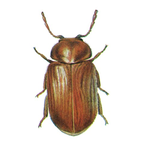 <strong>Drugstore Beetle (<em>Stegobium paniceum)</em></strong><br><br> <strong>Biology:</strong>  The rust-red to brown drugstore beetle grows to a length of 2 to 4 mm. Its wing cases are covered with fine hairs and strips of dots. The head is covered by the neck plate. This beetle flies well, but does not feed in the adult stage. The white larvae live in the nutrient substrate, where they build cocoons in which they moult and pupate. The drugstore beetle is among the commonest pests in households, pharmacies and drugstores.<br><br> <strong>Damage:</strong>  The damage results from larval feeding. Affected products are contaminated and their appearance is ruined by the feeding and emergence holes. The larvae are not very particular and are found in baked goods, pasta, grain and grain products, herbal drugs, cocoa and many other products as well as in leather, bookbinding, etc. They also bite through packaging materials such as paper, cardboard, etc.
