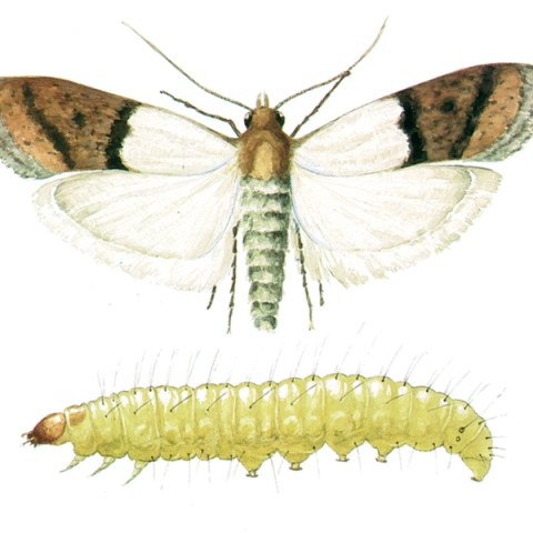 "<strong>Indian Meal Moth (<em>Plodia interpunctella</em>)</strong><br><br> <strong>Biology: </strong> The Indian meal moth has developed into the most frequently occurring moth in industry, commercial trade and human habitations. The adults have a wingspan of 20 mm. The part of the forewing next to the body is yellow-grey, the wingtip red-brown to copper red. One females lays 200 to 400 eggs. The larvae grow to a length of 16 mm and vary in color depending on what they feed on between whitish, greenish and reddish.<br><br> <strong>Damage:</strong>  Despite its name, the Indian meal moth eats all kinds of foodstuffs; the name ""meal moth"" reflects this. These animals are found, for instance, on dried fruit, nuts, chocolate, grain, spices, etc. The larvae eat the germ out of the grains; holes are eaten in foodstuffs. The foodstuffs are heavily contaminated by cocoon spinning and fecal crumbs."