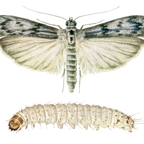<strong>Mediterranean Flour Moth (<em>Ephestia kuehniella</em>)</strong><br><br> <strong>Biology: </strong> The Mediterranean flour moth is coloured very like the cacao moth, but is somewhat larger (wingspan 20-25 mm). The caterpillars reach a length of 20 mm. The habitus of the Mediterranean flour moth is also generally similar to that of the Indian meal moth and cacao moth.<br><br> <strong>Damage: </strong> The Mediterranean flour moth is the principle pest of flour mills and large-scale bakery operations. Its geographical distributions is practically the same as that of the cacao and Indian meal moths. This species also shows a similarly flexible range of feeding tastes. Besides flour, the products infested include coarse meal, semolina, noodles, bran, oat flakes, rice, dry baked goods, beans and cereal grains, etc. In milling operations, the cocoons may be so numerous as to clog conveyor and sieving equipment.