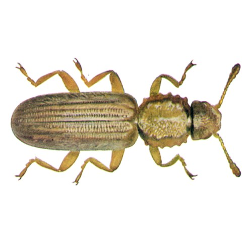 <strong>Saw-toothed Grain Beetle (<em>Oryzaephilus surinamensis</em>)</strong><br><br> <strong>Biology:</strong>  This very lively, slender, flattened beetle is up to 3 mm long and is colored grey-brown to rusty brown. The neck plate has two flat broad lengthwise grooves and six sharp points on each side. These beetles feed on cereal grains, flour products, pasta, baked goods, dried fruit, nuts, etc. The females lay the eggs on these nutrient substrates. Following larval development, the grubs pupate either unattached or in a cocoon comprising pieces of the nutrient substrate glued together. In warm grain stores massive proliferations can develop rapidly.<br><br> <strong>Damage:</strong>  After the grain weevil, the saw-toothed grain beetle is the most important grain pest, causing extensive damage to the food industry. This is a feared pest because of its small size and extraordinary mobility, enabling it to get into everything, so that the insects are often transported inside food packaging. They are feared in the grain storage industry for their rapid and massive reproductive capacity. Damage is cause by feeding on the foodstuff substrates and resulting loss of quality due to heating and raised humidity followed by proliferation of mold fungi.