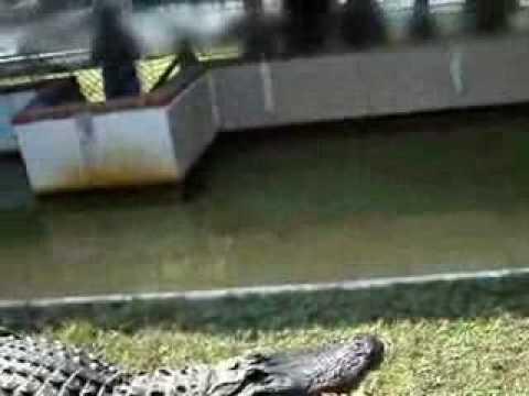 alligator streicheln