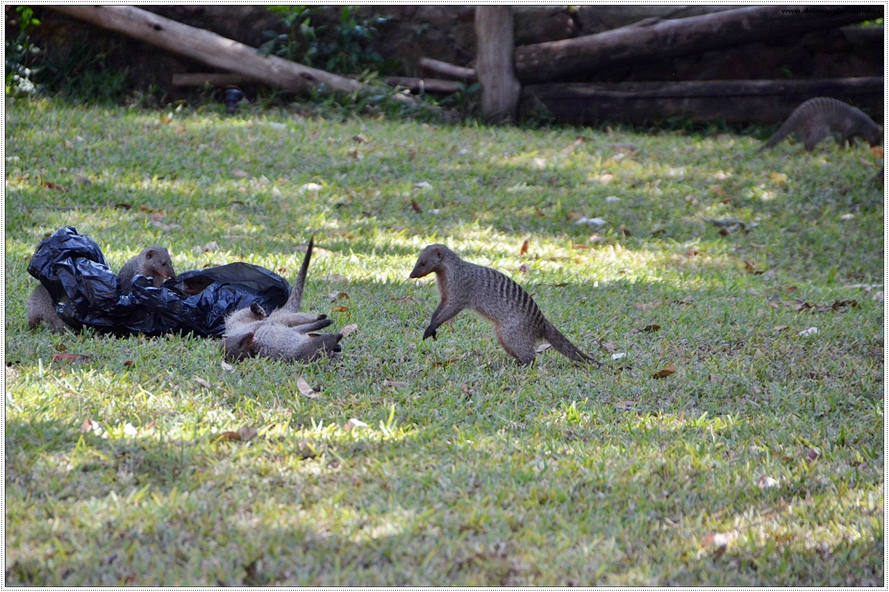 mungos chobe nationalpark
