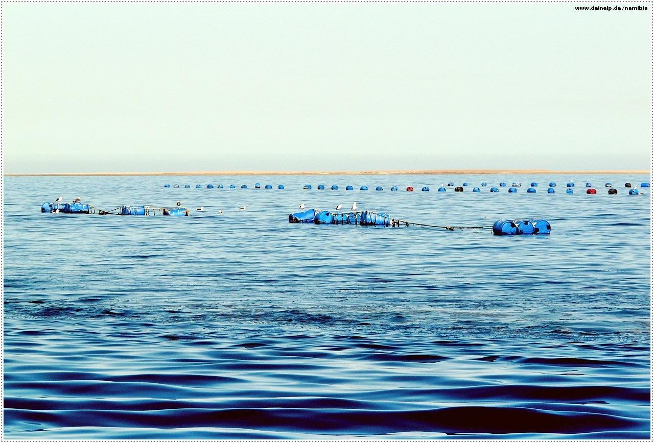 namibia zuchtaustern walvisbay