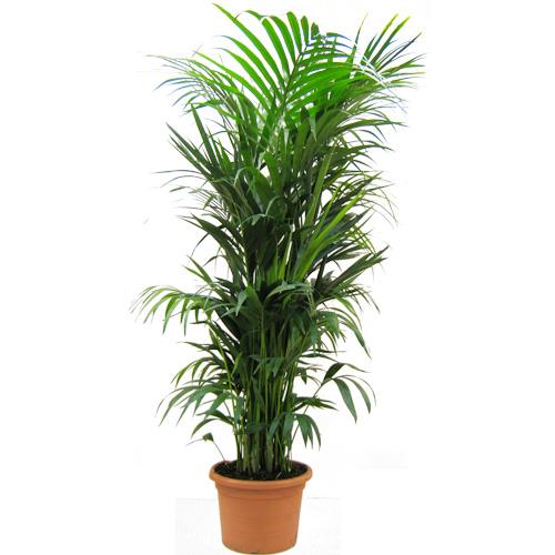 Planta kentia