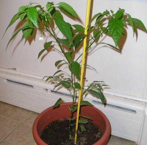 Pimentera, un buen elemento de la jardinería