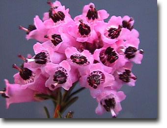 plantas con flores resistentes al frío del invierno