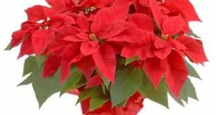 Esta Navidad pon un Poinsettia en tu hogar