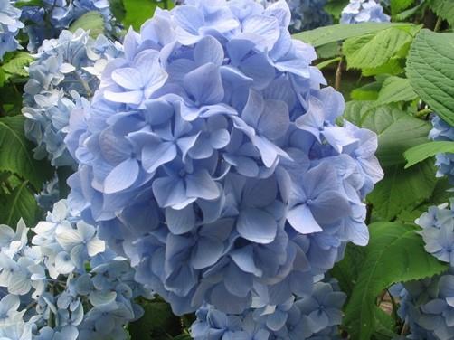 cultivar hortensias
