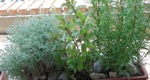 Cuidados para las hierbas aromáticas