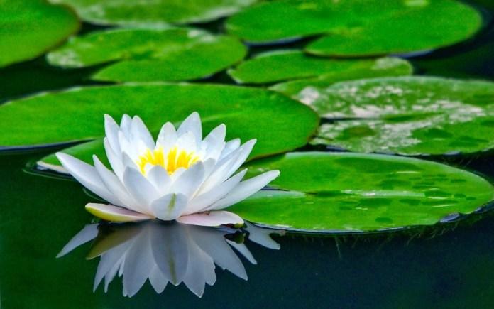 Las mejores plantas acuáticas para un estanque