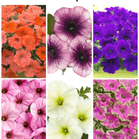 Petunias: 6 unique varieties to plant in your garden!
