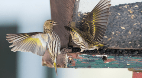 Good Natured: It Must Be 2020 — Birds Are 'Irrupting' All Over Kane County!