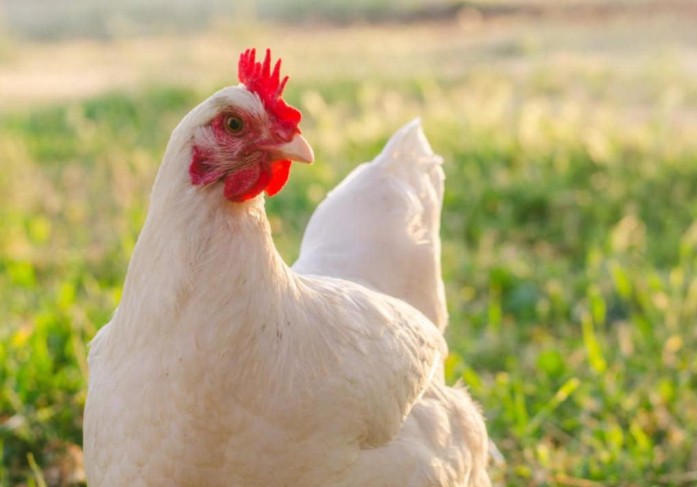 Allow Backyard Chickens In DeKalb