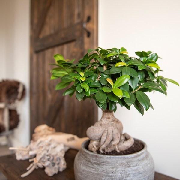 Dekbed Discounter Kamer Bonsai Ficus 'Ginseng' Zonder plantenvoeding