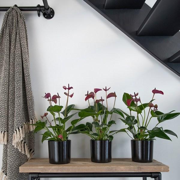Dekbed Discounter Flamingoplant 'Anthurium Purple' Kleur: Grijs