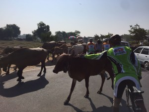 cycling-with-holy-cows