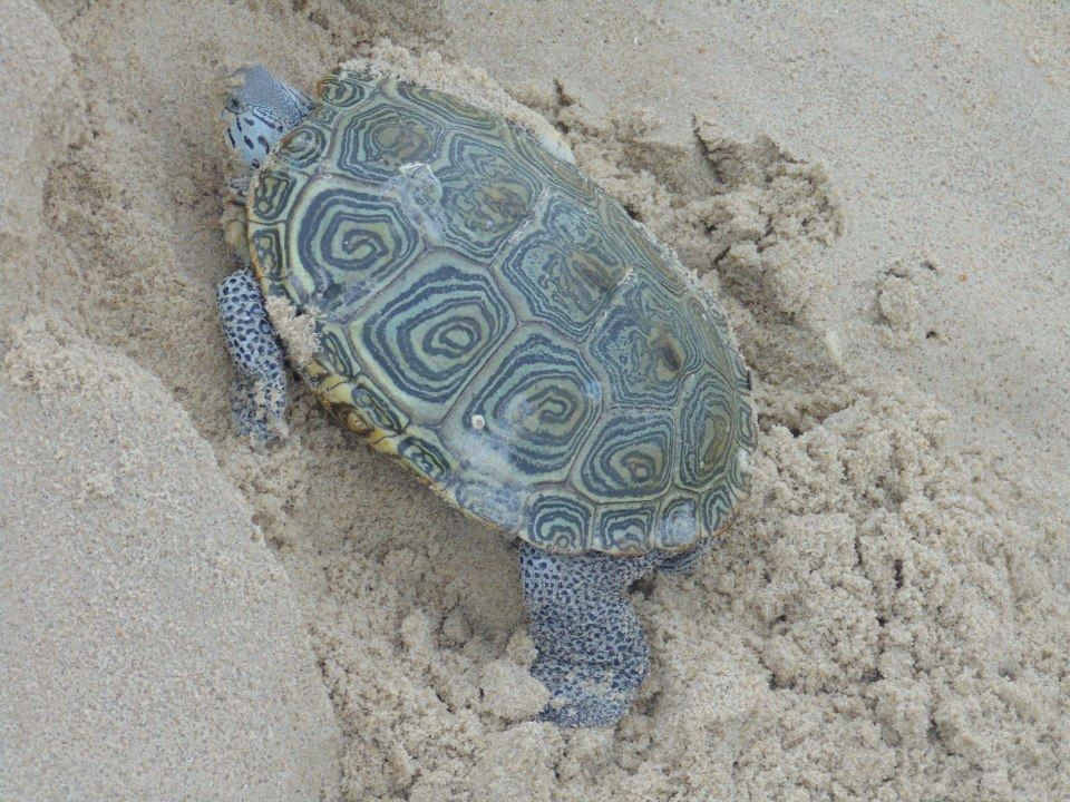 diamondback terrapin, DBT, , Delaware Council of Wildlife Rehabilitation and Education, sea turtles, atlantic ocean,
