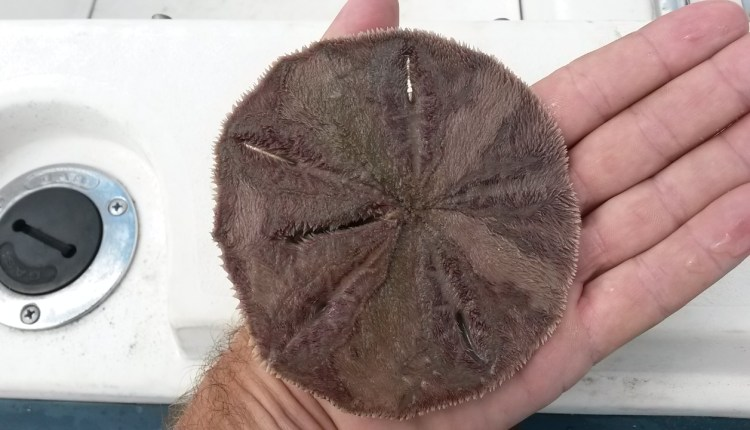 Live sand dollar found in the Indian River Bay
