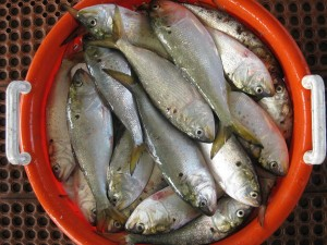 menhaden, bunker, bait fish, forgae fish, striped bass, bluefish, delaware, sussex county