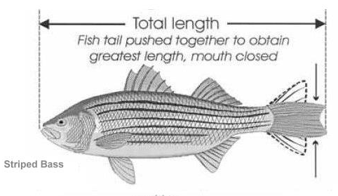 How to measure your striped bass, rockfish, linesider, delaware creel limits, sussex county, kent county, new castle county, outer wall, inner wall, overfalls